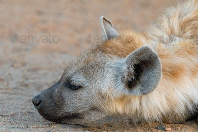 Close-up of face of a spotted hyena cub
