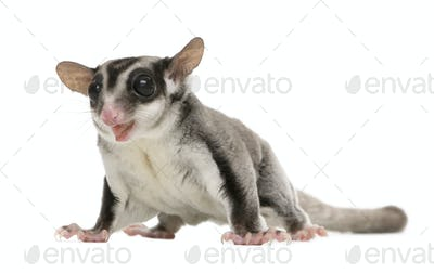 sugar glider - Petaurus breviceps (3 years old)