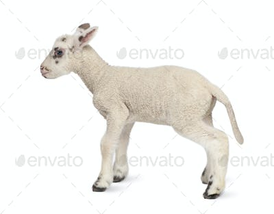 Side view of a Black and white Lamb (10 days old)