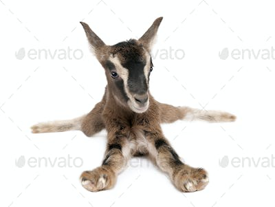 brown Young Goat lying down(3 weeks old)