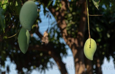 Green mango hanging on the tree