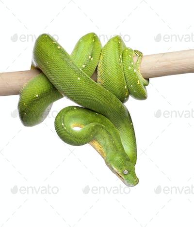 green tree python looking down - Morelia viridis (5 years old)