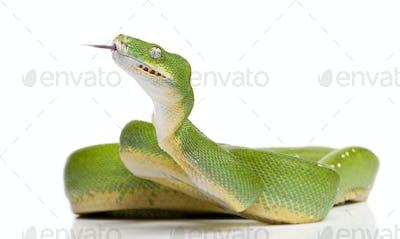 green tree python - Morelia viridis (5 years old)