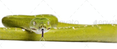 python vert 5 ans morelia viridis