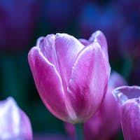 Purple tulips in the garden-11