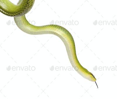 Red-tailed Green Ratsnake - Gonyosoma oxycephalum
