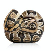Young Python regius  (10 months old)