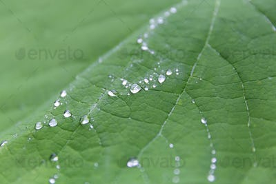 Leaf with droplets of water