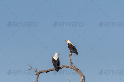 Two african fish eagles on a dead tree branch