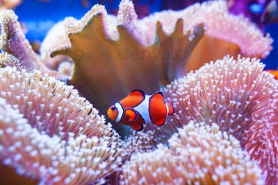 Clown fish swimming in the corals.