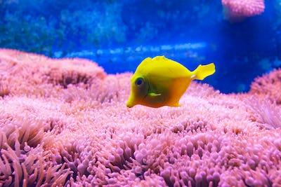 Yellow tang fish.