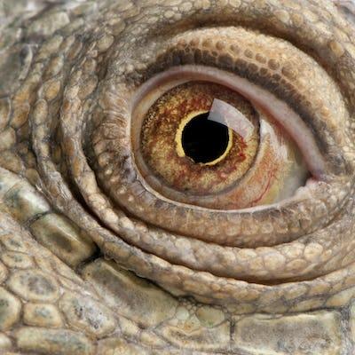close-up on a Green Iguana - Iguana iguana (6 years old)