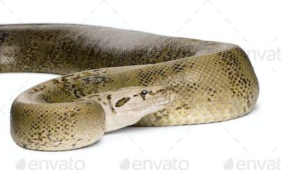 python molure, phase granit 10 ans