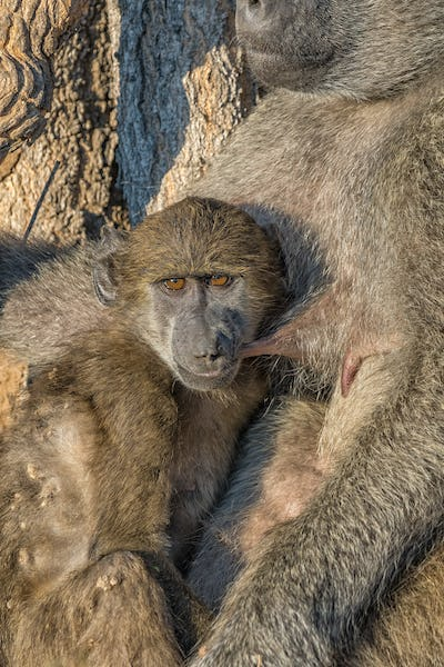 Young chacma baboon suckling on its sleeping mother
