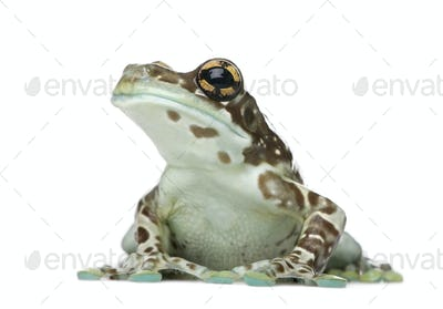 Amazon Milk Frog - Trachycephalus resinifictrix