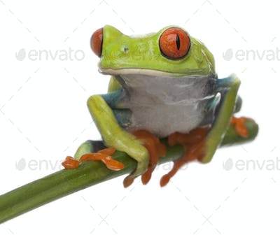 Red-eyed Tree Frog, Agalychnis callidryas, in front of white background