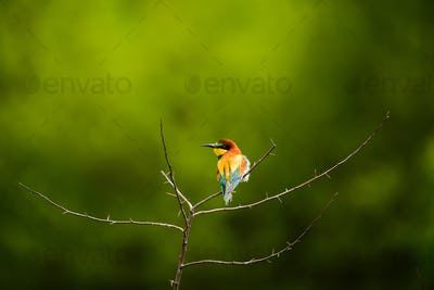 European bee-eater , Merops apiaster