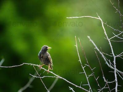 Common Starling , Sturnus vulgaris