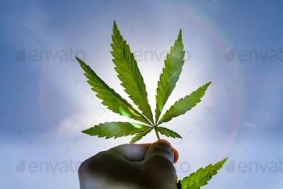 Green bushes of marijuana. Close up view of a marijuana cannabis bud.