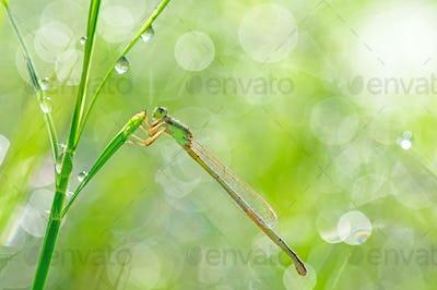 Damselfly perching on green grass leaf
