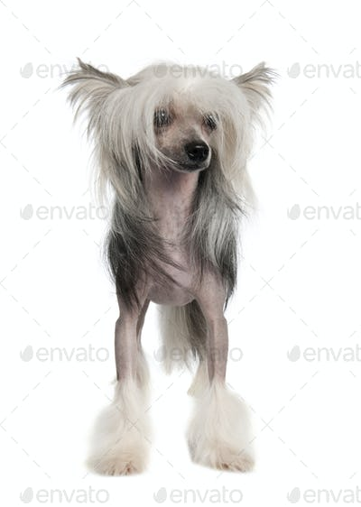 Chinese Crested Dog Hairless - (14 months old)