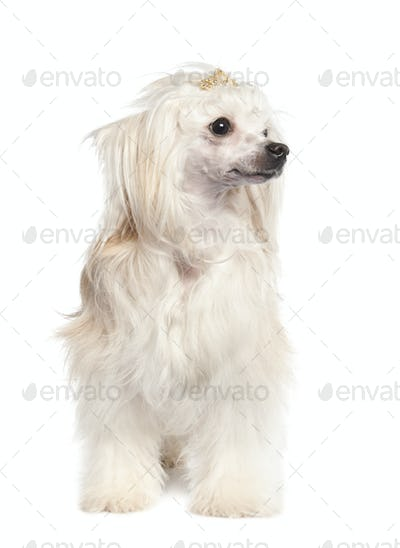 Chinese Crested Dog - Powderpuff ( 4 years old)