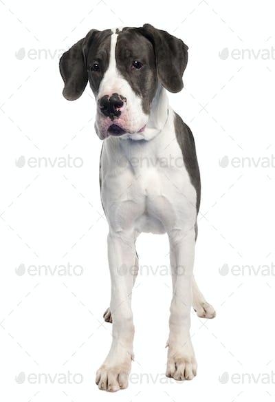 Great Dane puppy (6 months old)