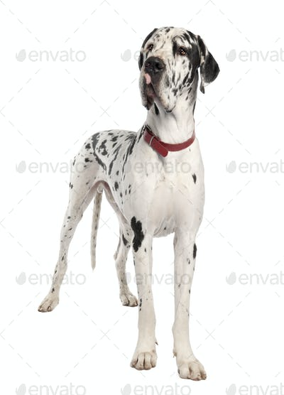 harlequin Great Dane (3 years old)
