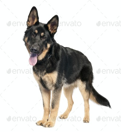 german shepherd (7 months old)