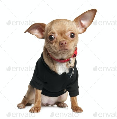 chihuahua puppy (8 mounths)