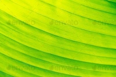 Banana leaf texture for bright natural background close