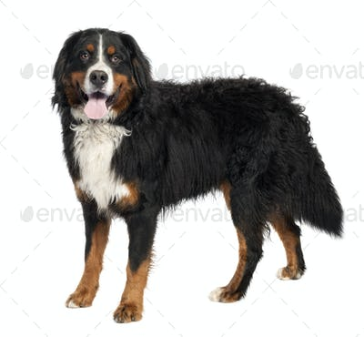 Bernese mountain dog (10 months old)