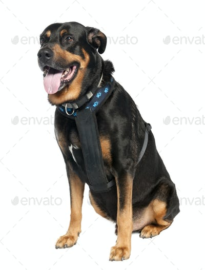 Mixed-Breed Dog between a Doberman and a German Shepherd