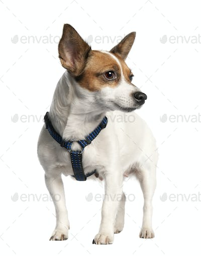 Jack russell (5 years old)