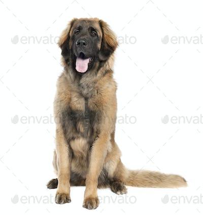 Leonberger (7 months old)