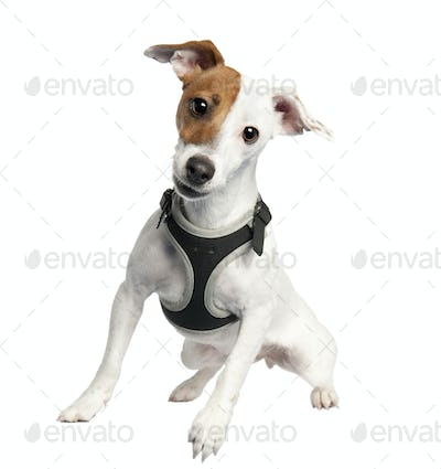 Jack russell (9 months old)