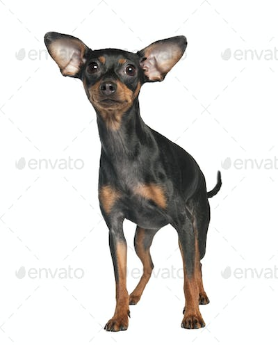 Pinscher (18 months old)