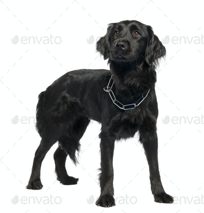 Mixed-Breed Dog between Newfoundland and unknown