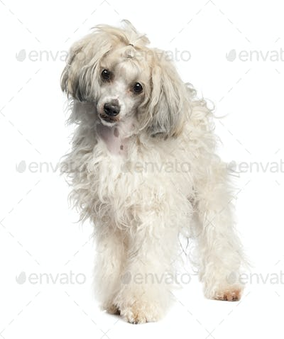 Chinese Crested Dog - Powderpuff (1 year old)