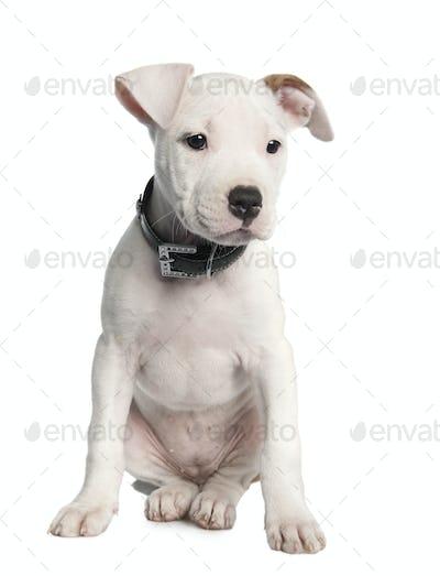 American Staffordshire terrier puppy (2 months)