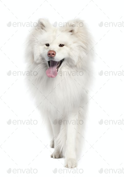 Akita inu (18 months old)