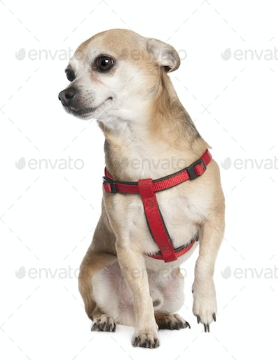 chihuahua (6 years old)