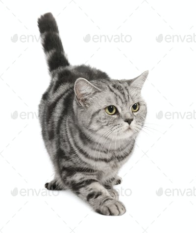 British Shorthair (3 years)
