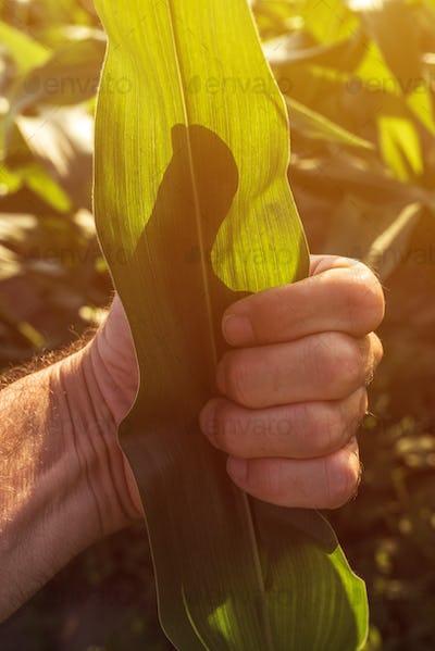 Satisfied farmer gesturing thumbs up in corn field