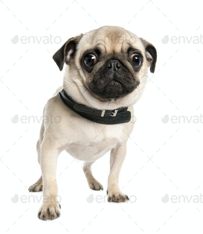 pug (17 months)