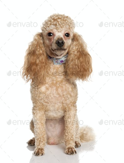 Poodle (1 years old)