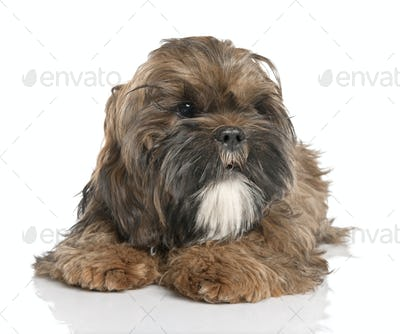 Shih Tzu puppy (6 months old)