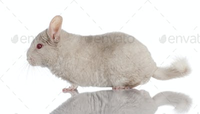 Chinchilla (4 years old)