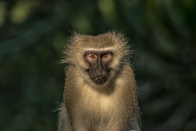 Close-up of a vervet monkey looking towards the camera