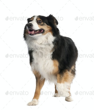 Mixed-Breed Dog between a border collie and a bernese montaine dog